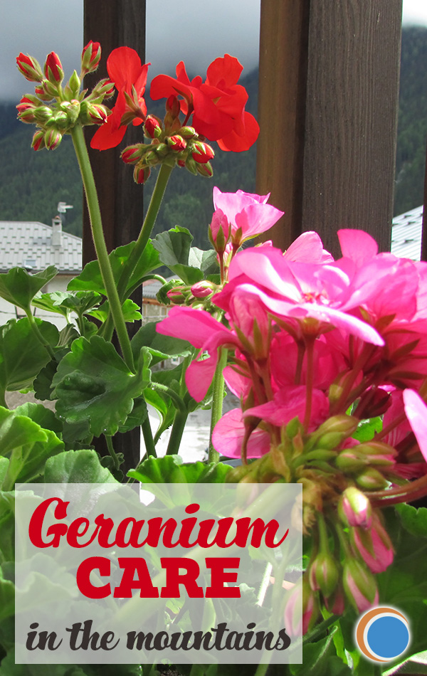 Geranium care in the mountains